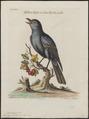 Turdus cyanus - 1749 - Print - Iconographia Zoologica - Special Collections University of Amsterdam - UBA01 IZ16300305.tif