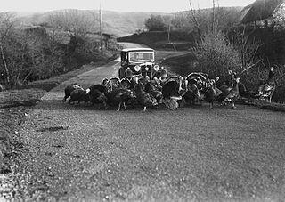 Turkeys crossing a road in front of a car