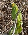 Turquoise-fronted Amazons (Amazona aestiva) couple (29322261121).jpg