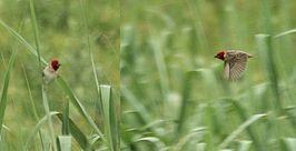 Two Red-headed Quelea (Quelea erythrops).jpg