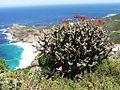 Tylecodon paniculatus - Cape Peninsula CapeTown SA 1.JPG