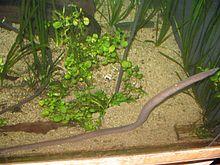 Typhlonectidae - Wikipedia