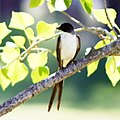 Tyrannus savanna-Fork-tailed Flycatcher.JPG