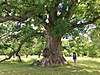 UConn West Hartford Oak - June 2020.jpg