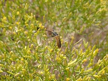 US Utah Beetle in Antelope Island.JPG