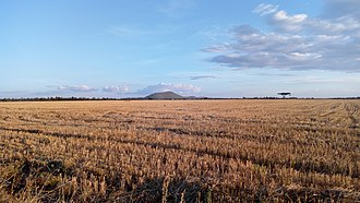 Eldoret - Large wheat plantation near Eldoret. Sergoit hill seen in the background
