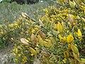 Ulex australis 2.JPG