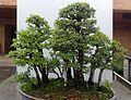 Ulmus davidiana Nire kz1.jpg