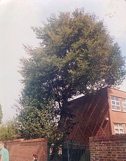 <i>Ulmus</i> Myrtifolia Purpurea Elm cultivar