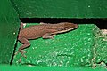 Unidentified Anolis Species in Camagüey, Cuba (8596820065).jpg