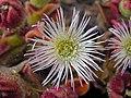 Unk desert flower 1.jpg