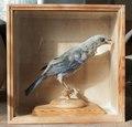 Uppstoppad fågel, tanagra från 1800-1825 - Skoklosters slott - 95032.tif