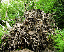 Uprooted tree 001.jpg