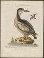 Uria grylle - 1700-1880 - Print - Iconographia Zoologica - Special Collections University of Amsterdam - UBA01 IZ17800287.tif