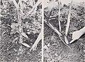Vanilla culture in Puerto Rico (1948) (19947226614).jpg