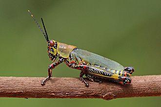 Pyrgomorphidae - adult female