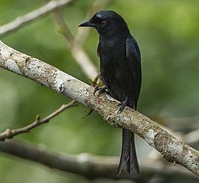 Velvet-mantled Drongo from Canopy Walkway - Kakum NP - Ghana 14 S4E1498 (cropped).jpg