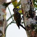 Veniliornis spilogaster White-spotted Woodpecker.JPG
