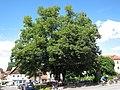 Verfassungslinde2 Gruenwald-02.jpg