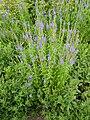 Veronica longifolia 'Exaltata' (Scrophulariaceae) plant.JPG
