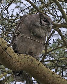 Verreaux S Eagle Owl Wikipedia