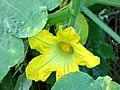 Victoria - Bolo - Gallina (Cucurbita ficifolia) - Flickr - Alejandro Bayer (1).jpg