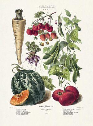 Vilmorin - Plate 30 Album Vilmorin (1879)