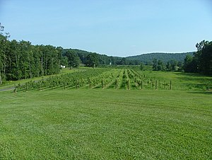 Weinberg im Yadkin Valley