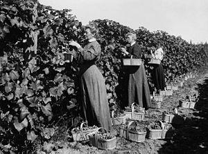 Ontario wine - Southern Ontario vineyard, c. 1920-1925