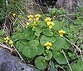 Viola biflora 300606.jpg