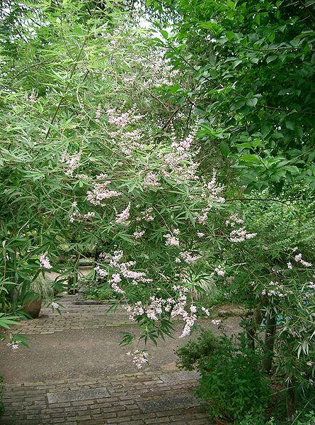 arbre le gattilier