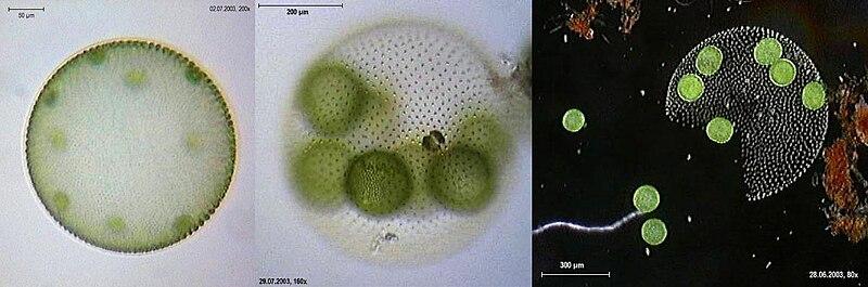 File:Volvox aureus 3 Ansichten.jpg