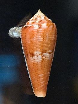WLA hmns Conus granulatus