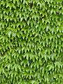 Wall of Ivy Leaves 3.jpg