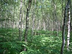 Bouleaux dans le Sussex. En sous-bois des fougères-aigles (Pteris aquilinia) (Royaume-Uni). Photographie pris en juin