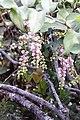 Waxberry - Scheinbeeren (8237111313).jpg