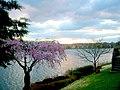 Weeping Cherry, Lake Thoreau and Naked Dogwood (132466450).jpg