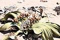 Welwitschia mirablis-1502 - Flickr - Ragnhild & Neil Crawford.jpg