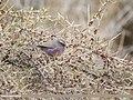White-browed Tit Warbler (Leptopoecile sophiae) (48332236961).jpg