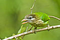 White-cheeked Barbet @ Nilambur.jpg