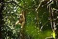 White-handed Gibbon, Hylobates lar in Khao Yai national park (23432781651).jpg