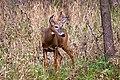 White-tailed Deer (Odocoileus virginianus) (6618101949).jpg