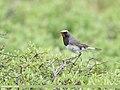 White-tailed Rubythroat (Luscinia pectoralis) - 48828069663.jpg