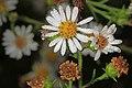 White Heath Aster - Symphyotrichum ericoides, Julie Metz Wetlands, Woodbridge, Virginia (23969944328).jpg