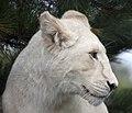 White Lion 4 (5017748871).jpg
