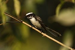 White browe fantail David Raju.jpg