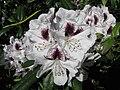 White flowers 052708 2.jpg