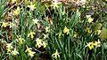 Wild Daffodils. Narcissus pseudonarcissus ssp pseudonarcissus - Flickr - gailhampshire.jpg