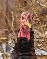 Wild Turkey (32620623870).jpg