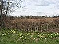 Wild daffodils - geograph.org.uk - 730709.jpg